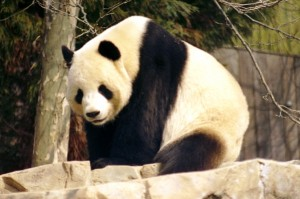 Giant panda to join Emory faculty